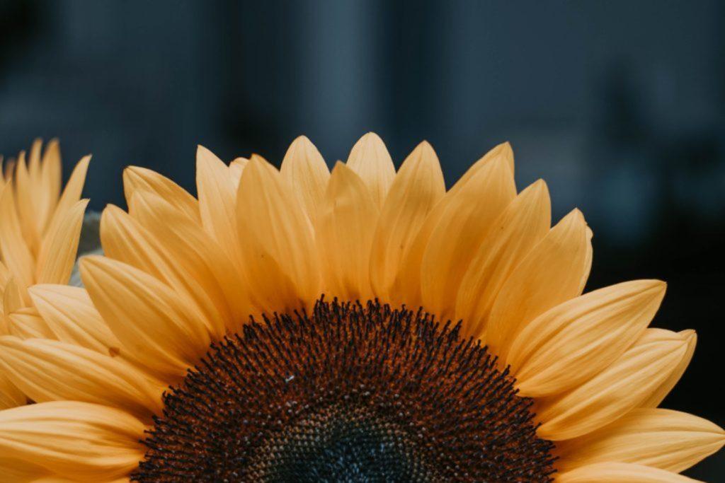 flower black-eyed susan